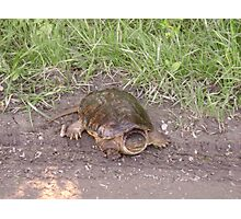 Rare Alligator Snapping Turtle Photographic Print