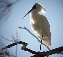 Royal Spoonbill ~ Goodnight by Robert Elliott