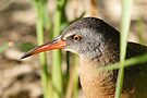 Virginia Rail by Todd Weeks