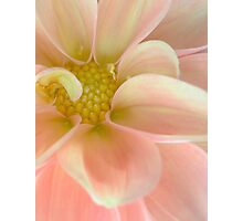 Dahlia in Soft Pink Photographic Print