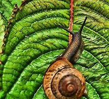 Snail on leaf by Arve Bettum