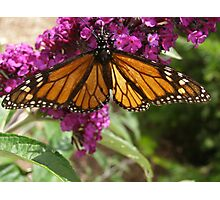 Monarch butterfly sipping nectar! 'Arilka' Adelaide Hills. Aust. Photographic Print