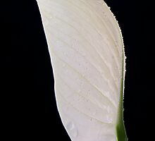 Peace Lily (spathipyllum) by Claire  Farley