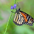 Monarch Butterfly by Jeff Ore