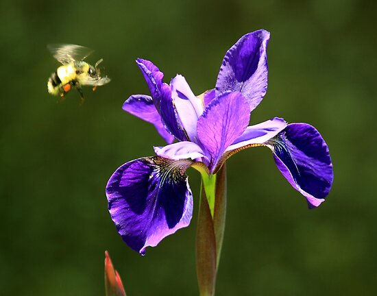 The Bee and the Iris by Brian Carey