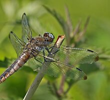 Female Scarce Chaser by Robert Abraham