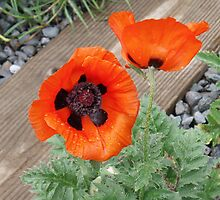 poppies by DarylE