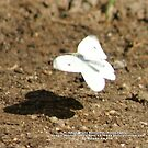 Cabbage White Butterfly - Pieris rapae; La Mirada, CA USA (985 Views 9-14-11) by leih2008