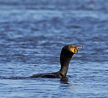 Yummy? DC Cormorant by lloydsjourney