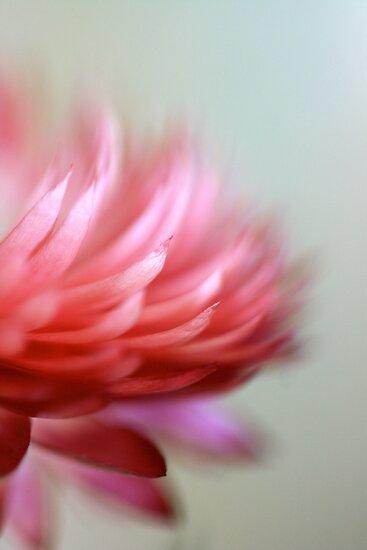 Strawflower by NEmens