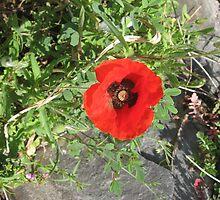 Springtime Poppy! by Kymbo