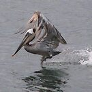 Brown Pelican by Gloria Abbey