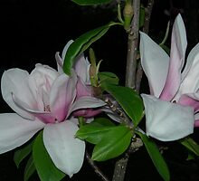 Magnolia 5 by Declan Kane