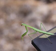 Preying Mantis by Okeesworld