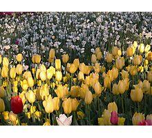 Tulip 11 Photographic Print