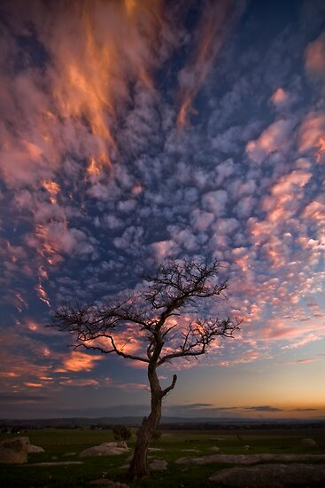 Flame Tree by Lisa  Kenny