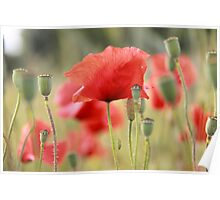 Photography of red Poppies Poster