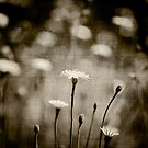 Dandelions by Christine  Wilson Photography