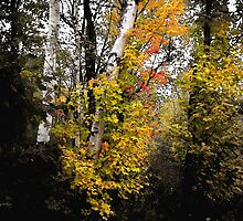 Color Slices Maple Birch Grove by Wayne King