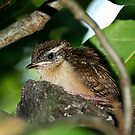 First Outing - Baby Bewick Wren by Dennis Jones - CameraView