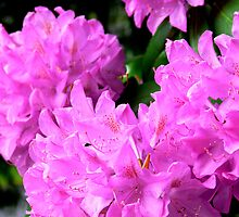 Pink Rhododendron by Hope Ledebur