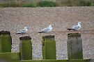 3 Seagulls by davesphotographics