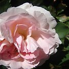 Delicately Pink by Diane Petker