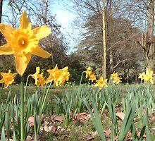 Easter Daffodils by Carolyne  Gill