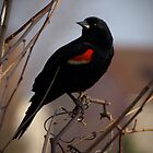 Red Wing Blackbird by G. Patrick Colvin