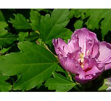 Tree peony, I think Photographic Print