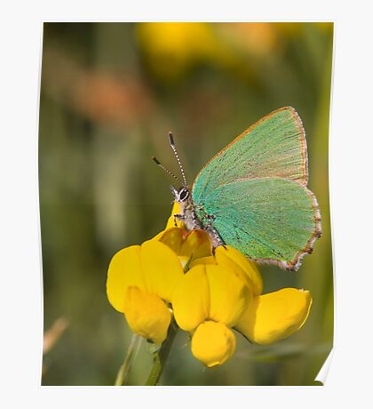 Green Hairstreak Butterfly Poster