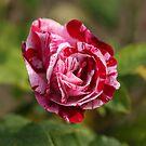 Rose by JohnBuchanan