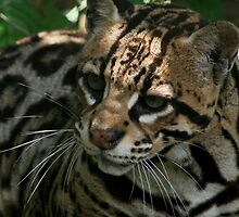 ocelot by Kent Tisher