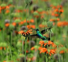 Hummingbird Hovering Next to Flower by rhamm