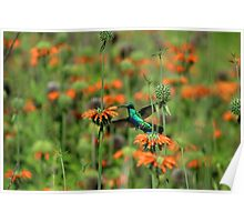 Hummingbird Hovering Next to Flower Poster