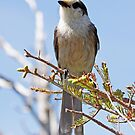 Observer: Gray Jay by lloydsjourney