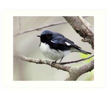 Black Throated Blue Warbler Art Print