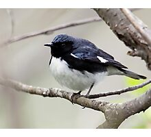 Black Throated Blue Warbler Photographic Print