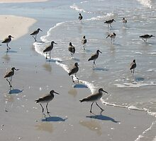 Willets on Cayo Costa by zahnartz