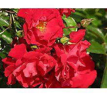 Grandma's Roses Photographic Print