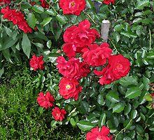 Grandma'a Roses 2 by nikspix