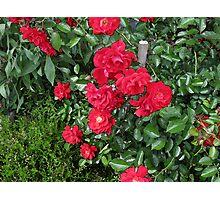 Grandma'a Roses 2 Photographic Print