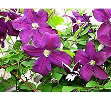 Purple Clematis 3 Photographic Print