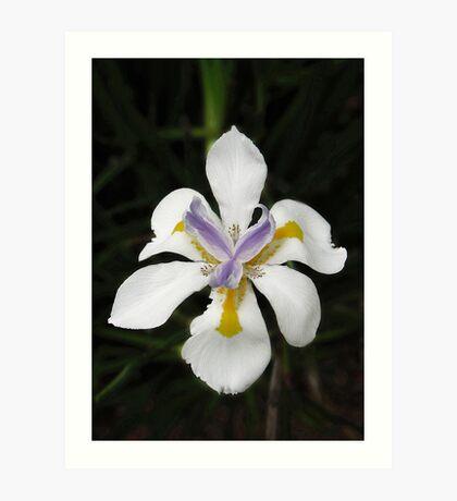 African White Iris Art Print