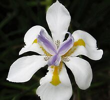 African White Iris by Ellen Cotton