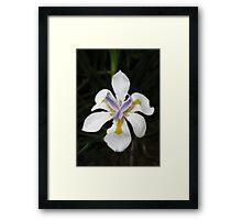 African White Iris Framed Print