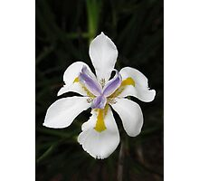 African White Iris Photographic Print