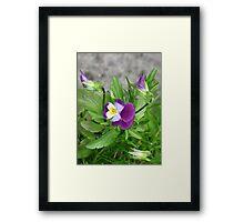 A dash of purple Framed Print