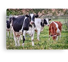 Moo Cows Canvas Print