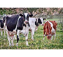 Moo Cows Photographic Print